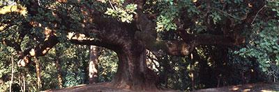 Foto La grande quercia